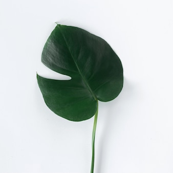 Flat lay tropical leaves monstera on white background. top view