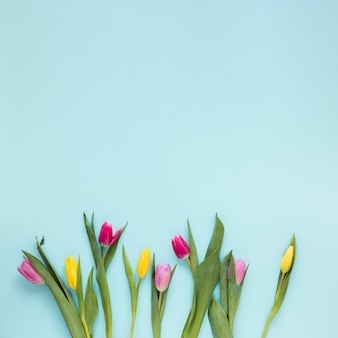 Flat lay tulip flowers and leaves on blue background with copy space