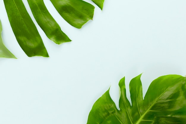 Flat lay of two monstera leaves with copy space
