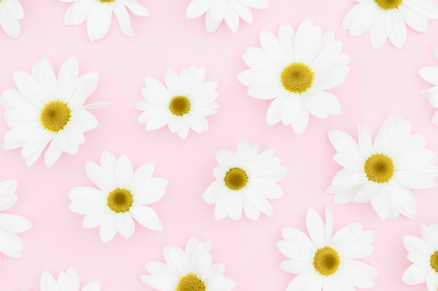 Flat lay white daisies on pink background