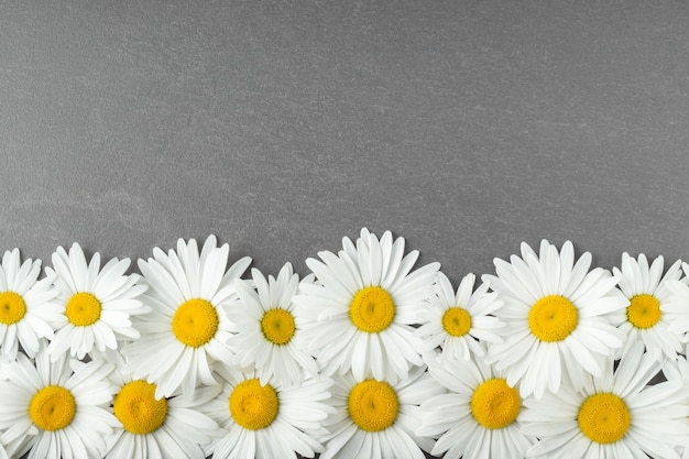 Flat lay with camomile flowers on grey table empty space compisition with lovely daisies top view