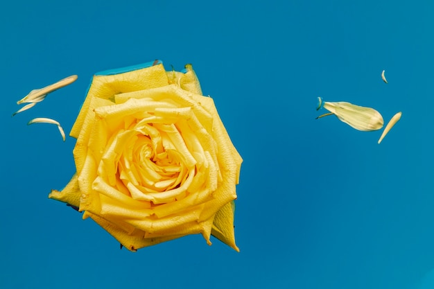 Flat lay yellow rose in water with copy space