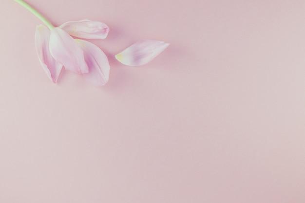 Розовый тюльпан с лепестками на розовом фоне flat lay