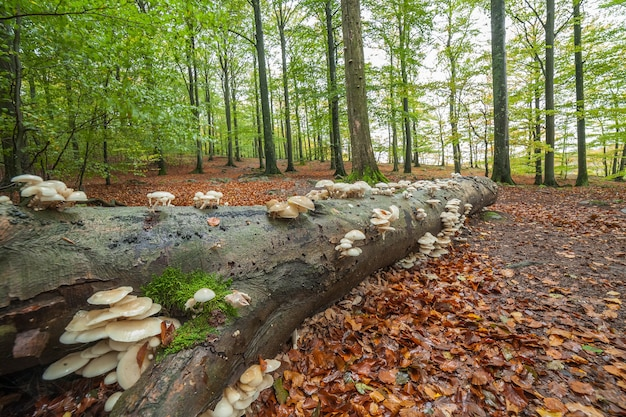 Flat white mushrooms growing on tree trunk in forest