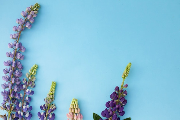 Flatlay the spring flower of the lupine on a blue surface