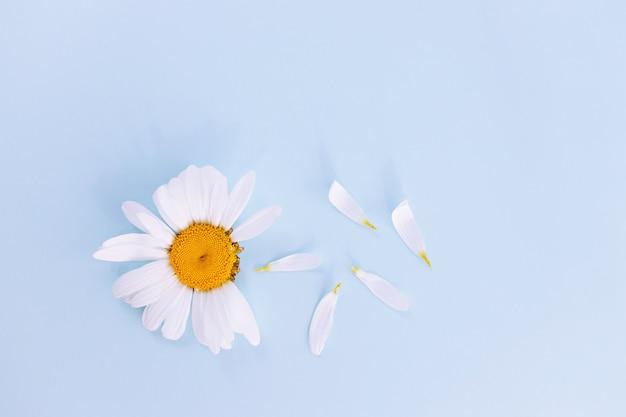 Flatleyワイルドフラワーデイジー、花びら。上からの眺め。コピースペース