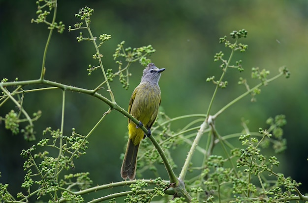 Flavescent bulbul perching on branch of fruiting tree