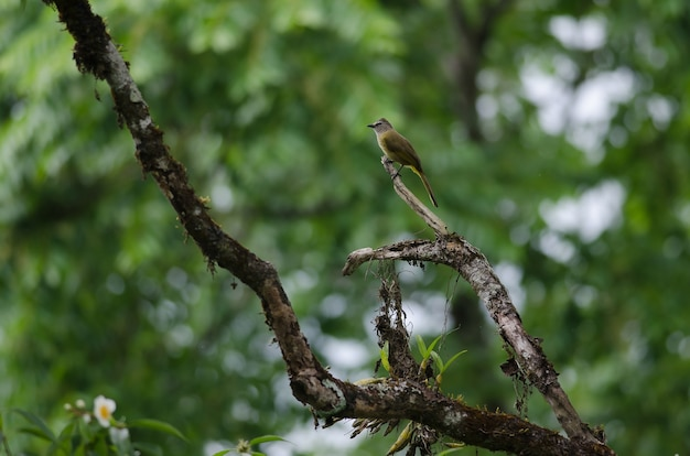 Flavescent bulbul perching on branch tree
