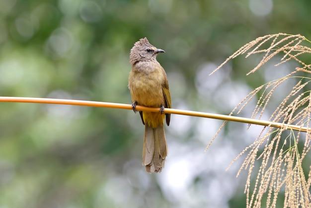 Flavescent bulbul pycnonotus flavescens beautiful birds of thailand