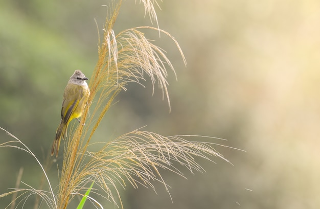 Flavescent bulbul on tree branch with green nature
