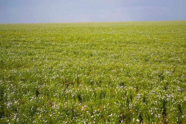 Льняное поле, цветение льна летом, льняная промышленность, большое поле льна, синие цветы, маленькие синие цветы.