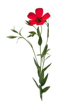 흰색 배경에 고립 된 붉은 색의 아마 꽃