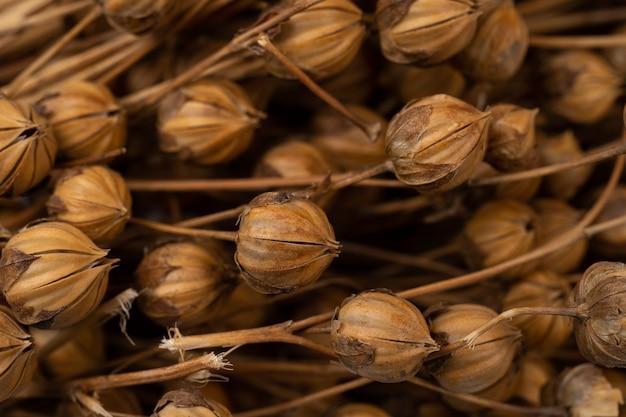Лен растет в поле. лен-сырец. селективный фокус, деталь капсул сухих растений льна с семенами