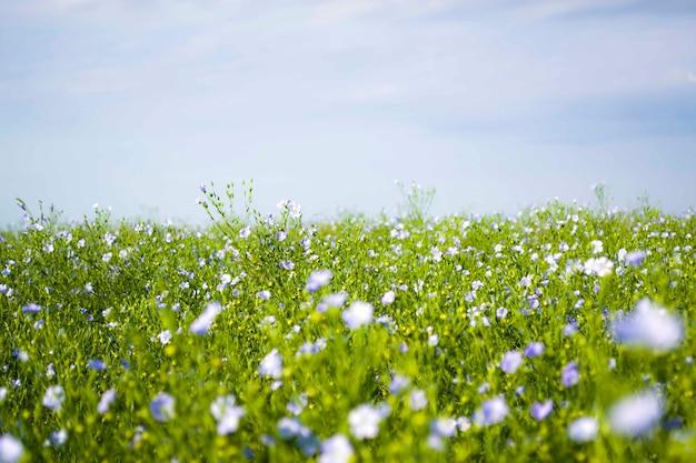 Flax linum usitatissimum цветущее море льна или льняного семени в жаркий летний день на севере франции.