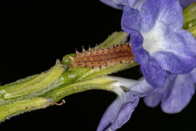 Flea beetle larva of the tribe alticini