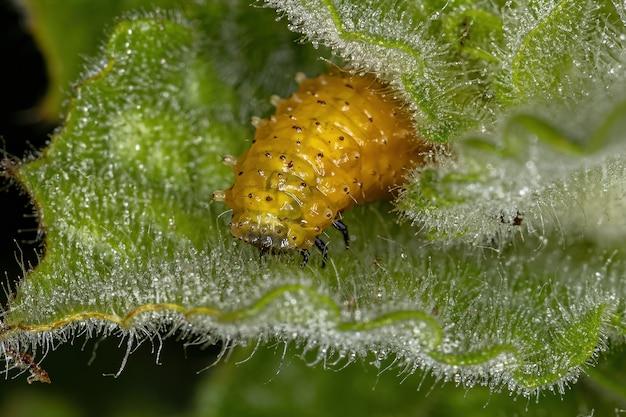 Omophoita argus 종의 벼룩 딱정벌레 유충