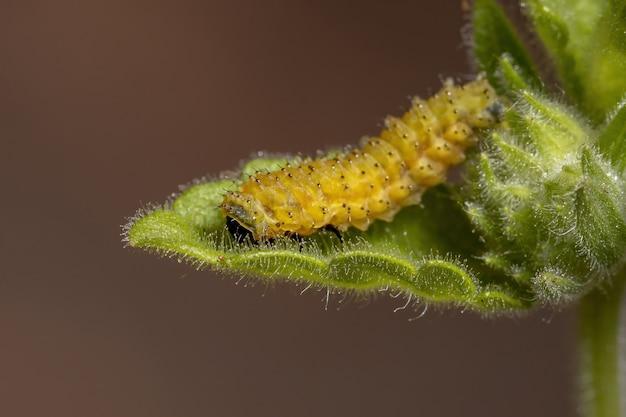 Flea beetle larvae of the species omophoita argus