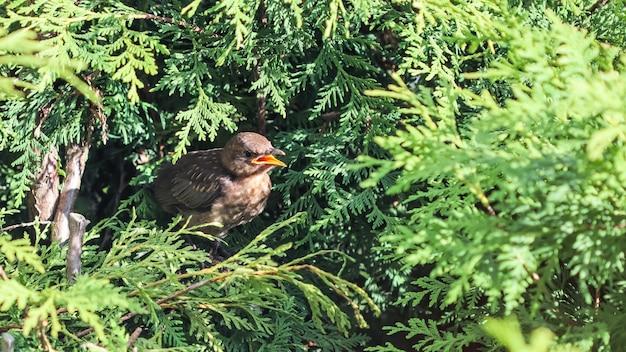 Птенец дрозда в ветвях туи в ожидании кормления от родителей