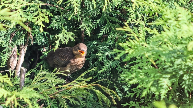 Fledgling blackbird in thuja branches waiting to be fed by parent