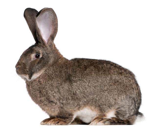 플랑드르 거 대 한 토끼 흰색 배경 앞
