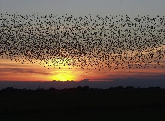 Flight blackbirds flying sunset sky clouds birds