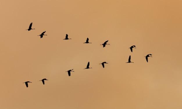 Flight of cranes flying at sunset