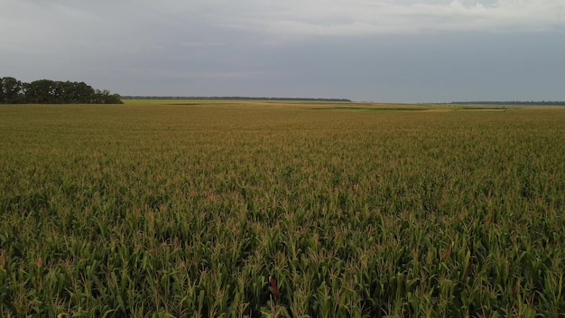 흐린 날씨에 옥수수 밭 무인 항공기 위로 비행. 밭에서 옥수수 농작물의 숙성
