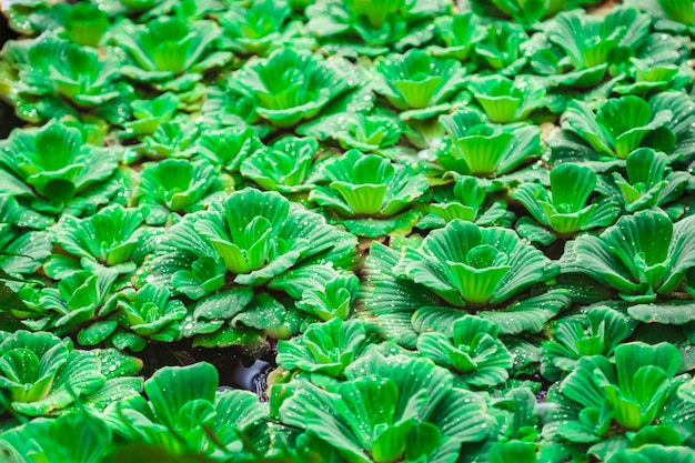 ピスティア層またはウォーターレツセタイランド水生植物の背景と呼ばれる浮遊水生植物