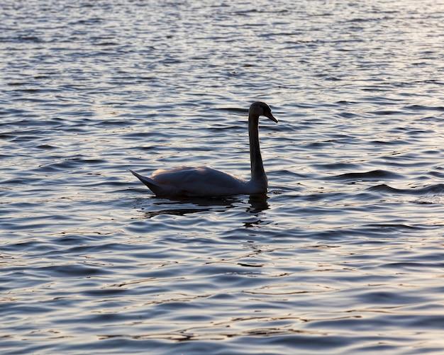 日没時に浮かぶ1つの白鳥の白鳥のクローズアップと湖の日没の春の間に金色の光線で春に1つの白鳥の白鳥
