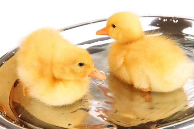 떠 다니는 귀여운 ducklings 가까이