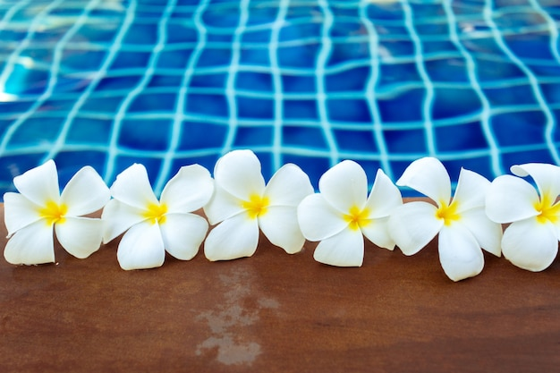 Floating frangipani flowers in the pool