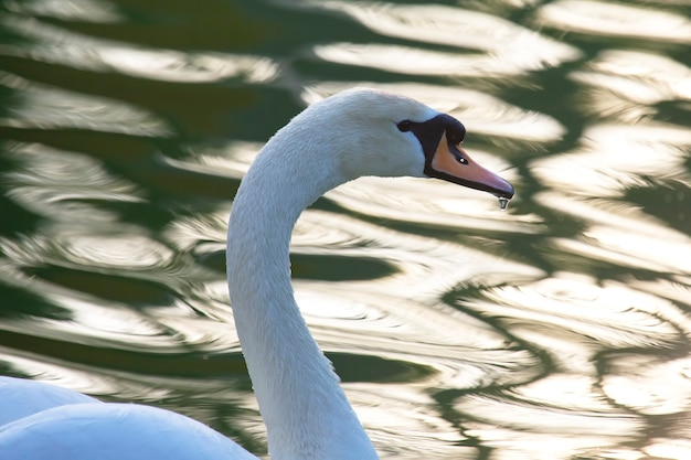 池に浮かぶ優雅な白鳥