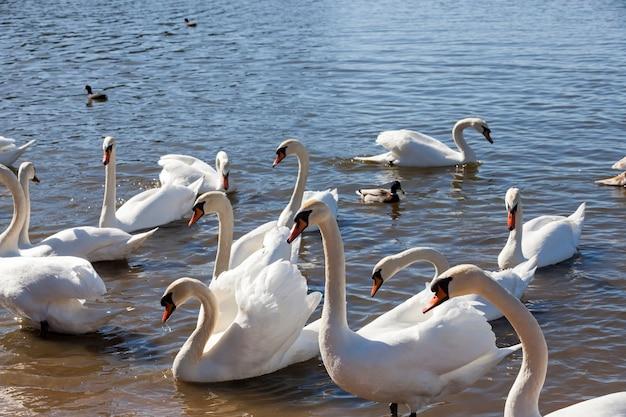 물 위에 떠 있는 하얀 백조, 봄철 새, 봄 번식 동안 백조와 물새가 있는 야생 동물, 근접 촬영