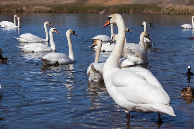 白い白鳥、春の季節の鳥、白鳥のいる野生動物、春の繁殖中の水鳥のグループが水に浮かんでいます