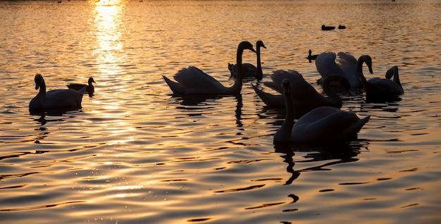 물 위에 떠 있는 하얀 백조, 봄철 새, 봄 번식 동안 백조와 물새가 있는 야생 동물