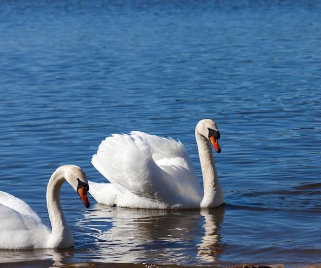 水に浮かぶ白い白鳥のグループ