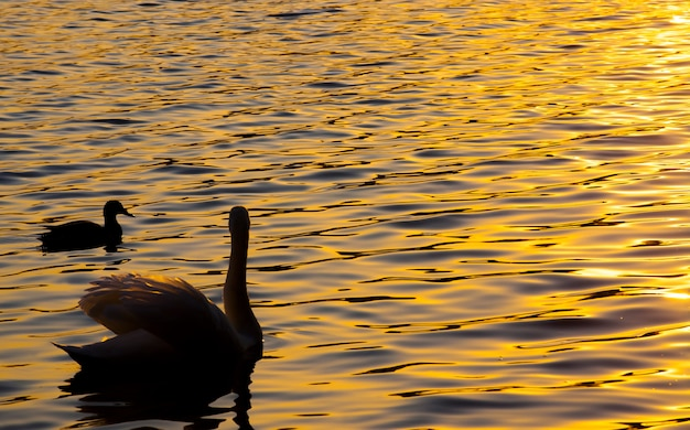 Floating at sunrise one swan, swan in the springtime in the golden rays during the sunrise or sunset, springtime on the lake with a lone swan, closeup