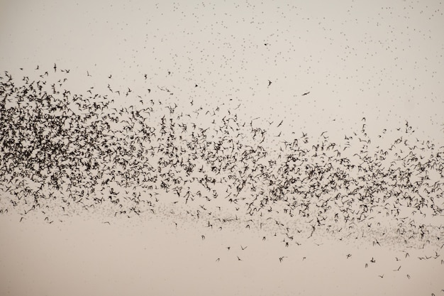 Flock of bat flying on sky to feed
