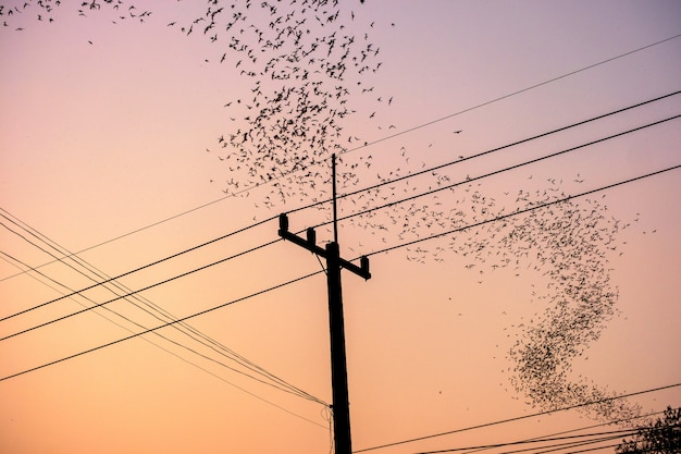 Flock of bats flying curve over electric pole at dusk