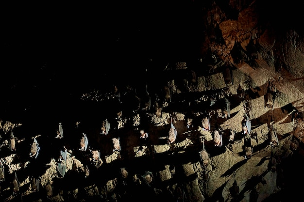 A flock of bats sleep on the ceiling in a cave. with a flashlight in the cave of bats