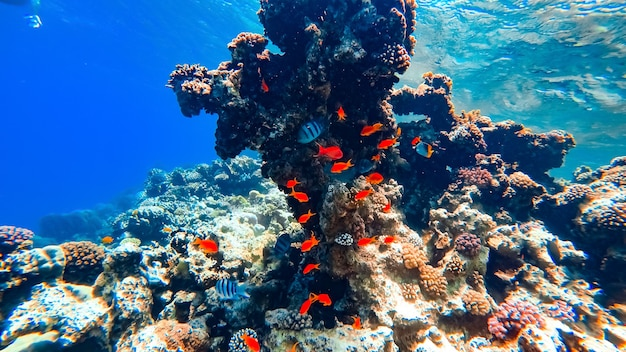 A flock of beautiful red tropical fish swims on the bottom of the sea, around the coral.