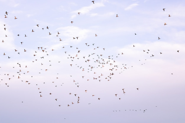 Flock of birds flying against a cloudy sky during migration