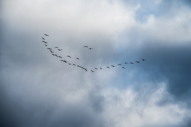 Flock of birds in v formation during spring migration, in silhouette against a cloudy sky.