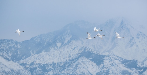 Flock of canadian geese flying surrounded by mountains around the great salt lake in utah, the us