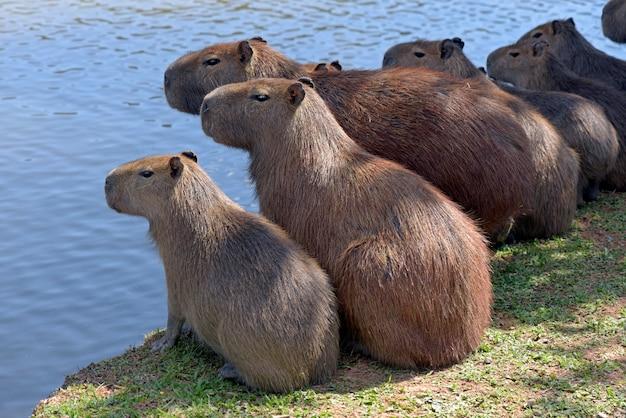Flock of capybaras sunbathing at the edge of water