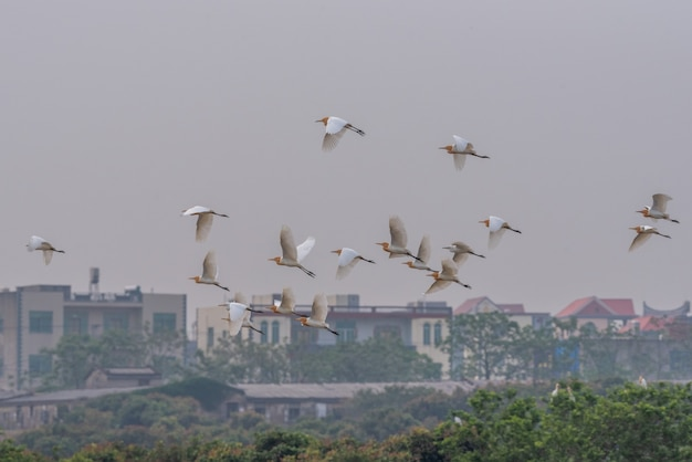 A flock of cattle egrets are flying in the field