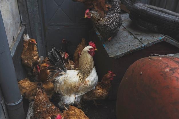 Flock of chicken on farm