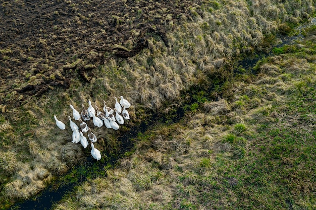 Flock of domestic geese top view