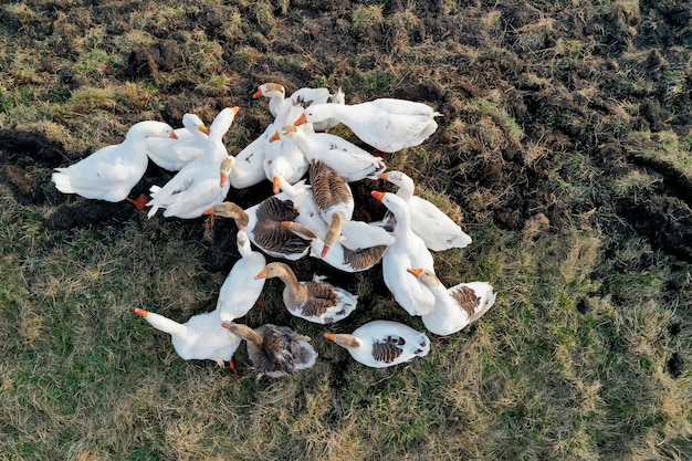 Flock of domestic geese walking in the yard. view from above.