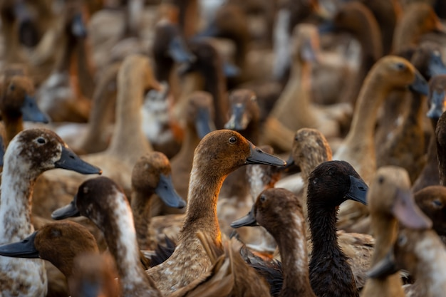 A flock of ducks returning from searching for food gathered together to organize